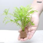 (水草)ライフマルチ(茶) ウォーターウィステリア(無農薬)(1個)