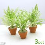(水草)プチ素焼き鉢 ウォーターウィステリア(無農薬)(3鉢)