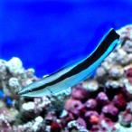 (海水魚)ホンソメワケベラ(1匹) 北海道・九州・沖縄航空便要保温