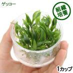 (水草)組織培養 クリプトコリネ ウェンティーグリーン ゲッコー(無農薬)(1カップ)