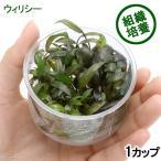 (水草)組織培養 クリプトコリネ ウィリシー(無農薬)(1カップ)
