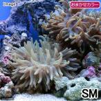 (海水魚 無脊椎)ロングテンタクルアネモネ おまかせカラー S-Mサイズ(1匹) 北海道・九州航空便要保温