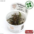 水草 組織培養1-2-GROW ハイグロフィラ ピンナティフィダ トロピカ製 無農薬 1カップ
