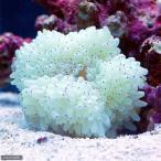 (海水魚 無脊椎)シライトイソギンチャク Lサイズ(1匹)