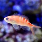 (海水魚)タイガークィーンアンティアス(1匹) 北海道・九州・沖縄航空便要保温