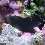 (海水魚)インドカエルウオ ブラック(1匹)