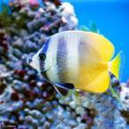 (海水魚)ミゾレチョウチョウウオ Sサイズ(1匹) 北海道・九州・沖縄航空便要保温