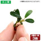 (水草)おまかせブセファランドラ(水上葉)(3種1株ずつ)(無農薬)(インボイス)