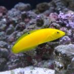 (海水魚)イエローコリス(1匹) 北海道・九州航空便要保温