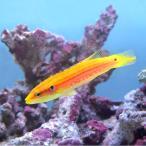 (海水魚)フタホシキツネベラ(1匹) 北海道・九州・沖縄航空便要保温