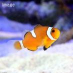 (海水魚 熱帯魚)カクレクマノミ イレギュラーバンド(国産ブリード)(1匹) 北海道・九州・沖縄航空便要保温