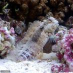 (海水魚)ヤエヤマギンポ(ブレニー) Mサイズ コケの掃除(1匹)