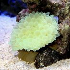 (海水魚 無脊椎)タマイタダキイソギンチャク おまかせカラー S-Mサイズ(1匹)