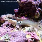 (海水魚)ツースポットブレニー(1匹)