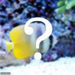 (海水魚)おまかせチョウチョウウオ(1匹) 北海道・九州・沖縄航空便要保温