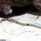 (海水魚)スポッテッド・ガーデンイール(チンアナゴ)(1匹)