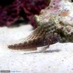 (海水魚)セルフィンブレニー(1匹)