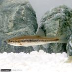 (淡水魚)アブラハヤ(1匹)