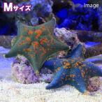 (海水魚 ヒトデ)イトマキヒトデ おまかせカラー Mサイズ(1匹)