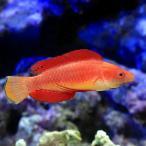 (海水魚)ルソンイトヒキベラ(1匹)