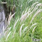 (ビオトープ)水辺植物 チガヤ(茅萱) 3号(1ポット) 湿性植物