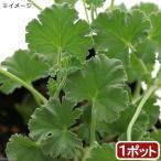 (観葉植物)ハーブ苗 ゼラニウム ナツメグ 3号(1ポット) 家庭菜園 アロマ