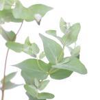 (観葉植物)ユーカリ シルバードロップ 3.5号(1ポット)