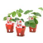 (観葉植物)野菜苗 イチゴ 赤大福 3号(3ポット) 家庭菜園 いちご苗 北海道冬季発送不可