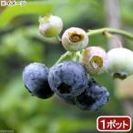 (観葉植物)果樹苗 ブルーベリー あまつぶ星(ハイブッシュ系) 5号(1ポット) 家庭菜園 北海道冬季発送不可