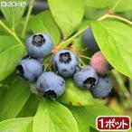 (観葉植物)果樹苗 ブルーベリー はやばや星(ハイブッシュ系) 5号 家庭菜園 北海道冬季発送不可