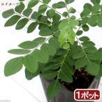 (観葉植物)ハーブ苗 カレーリーフの苗 3号(1ポット) 家庭菜園 北海道冬季発送不可