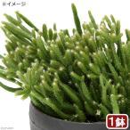 チャーム charm PayPayモール店で買える「(観葉植物)リプサリス プリスマチカ 3.5号(1鉢)」の画像です。価格は1,170円になります。