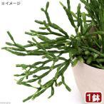 チャーム charm PayPayモール店で買える「(観葉植物)リプサリス ハチオラ サルコイオイデス 3.5号(1鉢)」の画像です。価格は1,170円になります。
