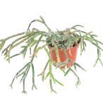 チャーム charm ヤフー店で買える「(観葉植物)リプサリス ピロカルパ 3.5号(1鉢)」の画像です。価格は1,170円になります。