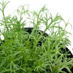 (観葉植物)ハーブ苗 カモミール ダブルフラワー 3号(1ポット) 家庭菜園 北海道冬季発送不可