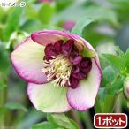 (観葉植物)クリスマスローズ チェリーシフォン 3号(1ポット) 北海道冬季発送不可