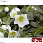(観葉植物)クリスマスローズ スノーホワイト 3号(1ポット) 北海道冬期発送不可