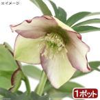 (観葉植物)クリスマスローズ プチドール 彩 3〜4号(1ポット) 北海道冬期発送不可