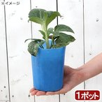 観葉植物 クリスマスローズ ネオスターダスト 3.5号 1ポット