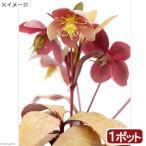 (観葉植物)クリスマスローズ リビダス ゴールデンリーフ 3.5号(1ポット) 北海道冬期発送不可