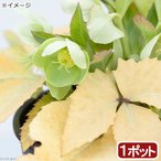 (観葉植物)クリスマスローズ ネオゴールデンリーフ 3.5号(1ポット) 北海道冬期発送不可