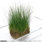 (水草)ヘアーグラス ショート(水上葉)土付き(90cm水槽用)(無農薬)(4シート分)