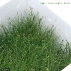 (水草)ヘアーグラス ショート(水上葉)お買い得BOX(無農薬)(1個) 北海道航空便要保温
