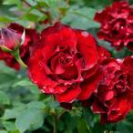 (観葉植物)バラ苗 デルバール オマージュ・ア・バルバラ 6号(1鉢)(冬の大苗)