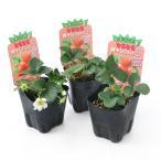 (観葉植物)野菜苗 イチゴ なるなる四季成りイチゴ セリーヌ 3.5号(3ポット) 家庭菜園 いちご苗