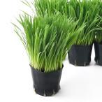 (観葉植物)長さで選べる ペットグラス 燕麦(長め) 3号(1ポット) 無農薬