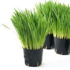 (観葉植物)ペットグラス 燕麦 ネコちゃんの草 3号(1ポット) 無農薬