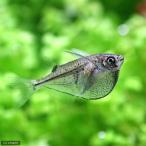 (熱帯魚)レヴィス・ハチェット(3匹)