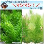 (水草 ザリガニ)ザリガニに合う水草マシマシセット 2種(無農薬)(1セット) 北海道航空便要保温