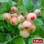 (観葉植物)果樹苗 ブルーベリー フロリダローズ(PVP) ラビットアイ系 5号(1ポット) 家庭菜園